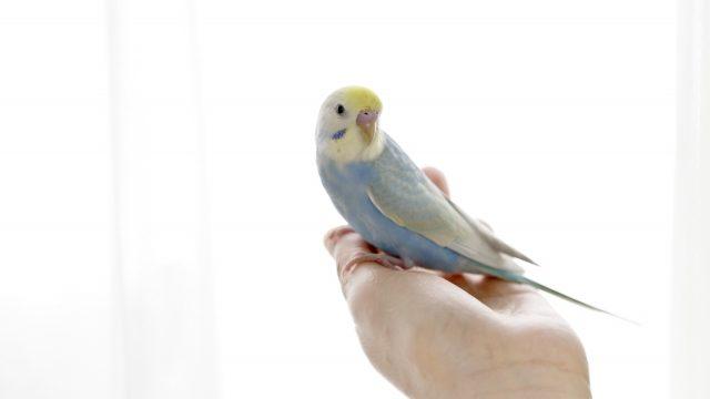 幼鳥 インコ
