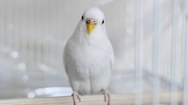 若鳥 インコ