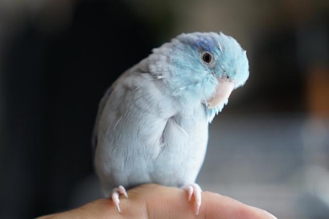 マメルリハ ブルー