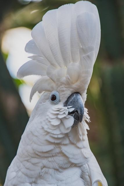 タイハクオウム 冠羽