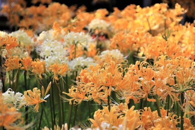 黄色の彼岸花の花言葉