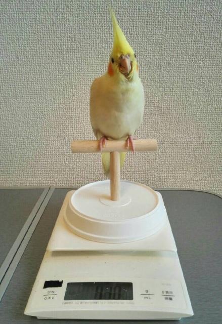 インコ 体重測定 やり方
